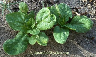 Baby Matador Spinach