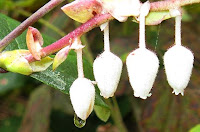 salal flowers