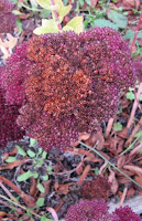 red valerian in autumn