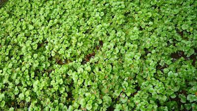 live wasabi plants