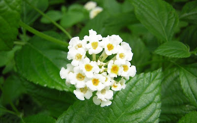 Compagni di fiori la lantana un 39 amante del sole for Arbusto dai fiori rosa e bianchi