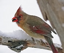 Cardinal female