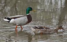 Mallard pair