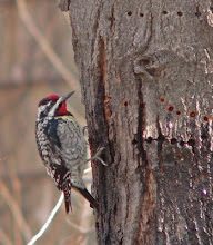 Yellow bellied sapsucker male