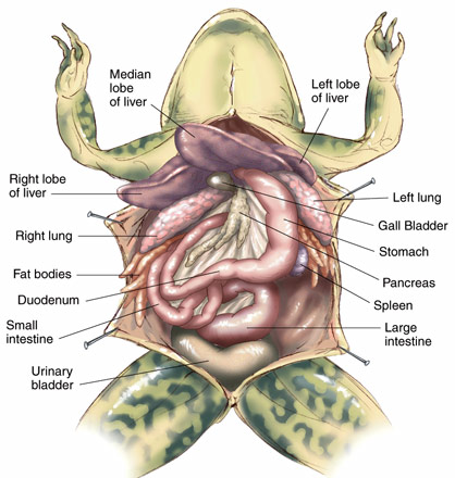 Frog dissection anatomy