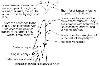 Anterior & Medial Branches of External Carotid Artery | Anatomy Classes