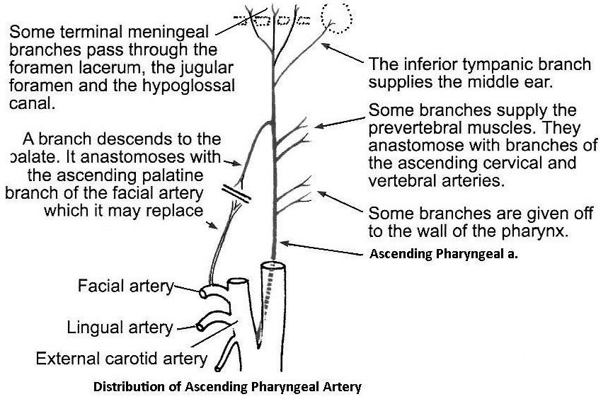Anterior Medial Branches Of External Carotid Artery Anatomy Classes