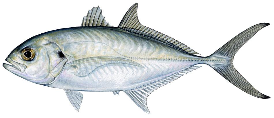Sharkbait blue runner for Blue runner fish