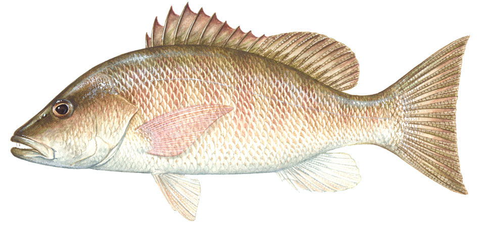 Sharkbait mangrove snapper for Snapper fish florida