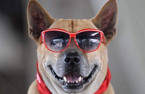 funny+animals+wearing+glasses+cool - Cegueira em cães: Como prevenir a doença e tratar seu Pet