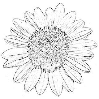 Sun Flower Sketch