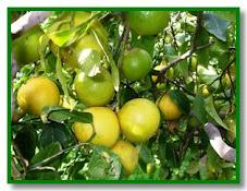 Bergamotto - Citrus bergamia