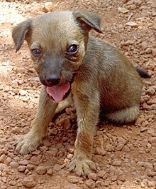 Puppy suffering from distemper