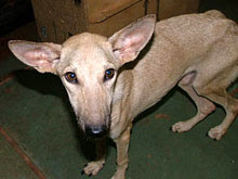 Olive suffering from distemper