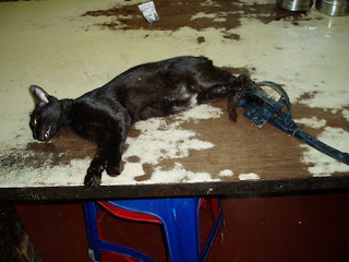 Cat under anaesthetic prior to removing the trap