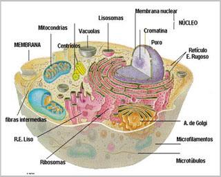 http://3.bp.blogspot.com/_euldKKdvu2M/SMRcO3ThXkI/AAAAAAAAAnY/aURvxGEP0uM/s320/estructura+de+una+celula+eucariota+animal.jpg