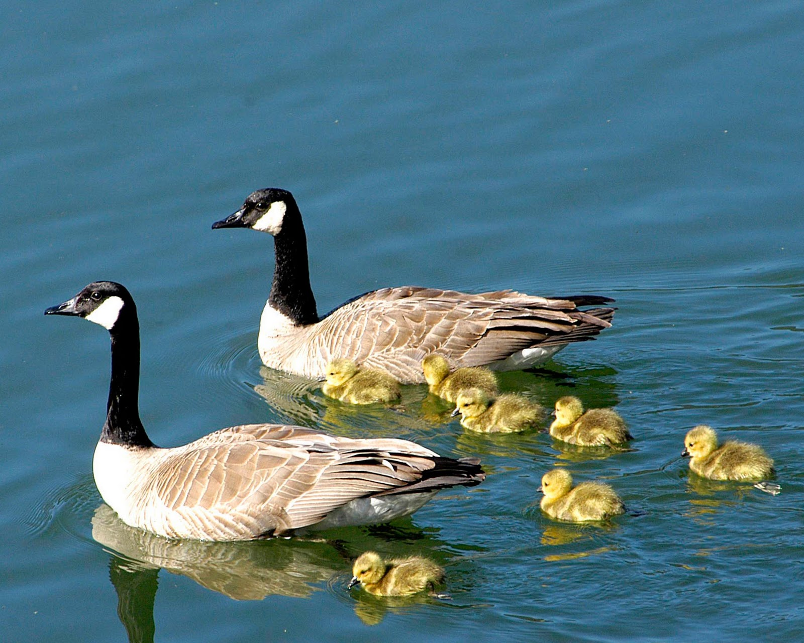 Montana sanders county dixon - Canadian Geese There S So Many We Think Of Them As Montana Geese