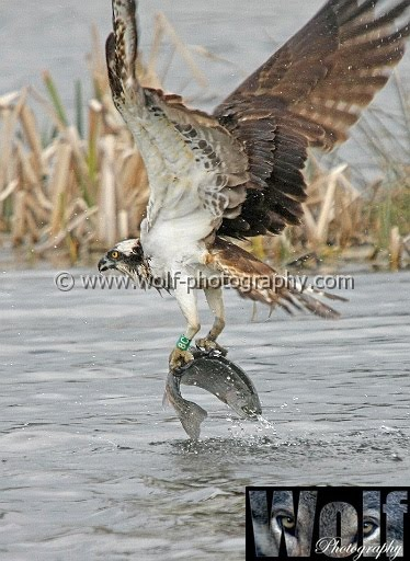 Osprey - Nature section