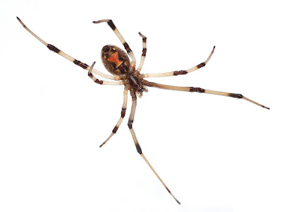 brown widow spider bites pictures. rown widow spider bites