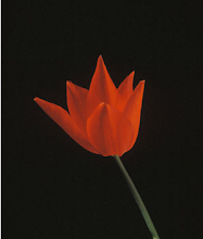 Red Tulip