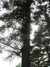 Pine Tree hit by lightening