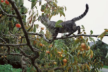Domestic Tabby Cat walking on a branch in a fruit tree