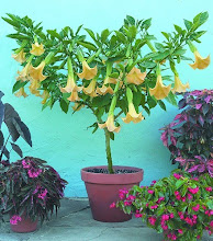 Beautiful Brugmansia