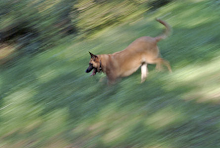 Dog running downhill