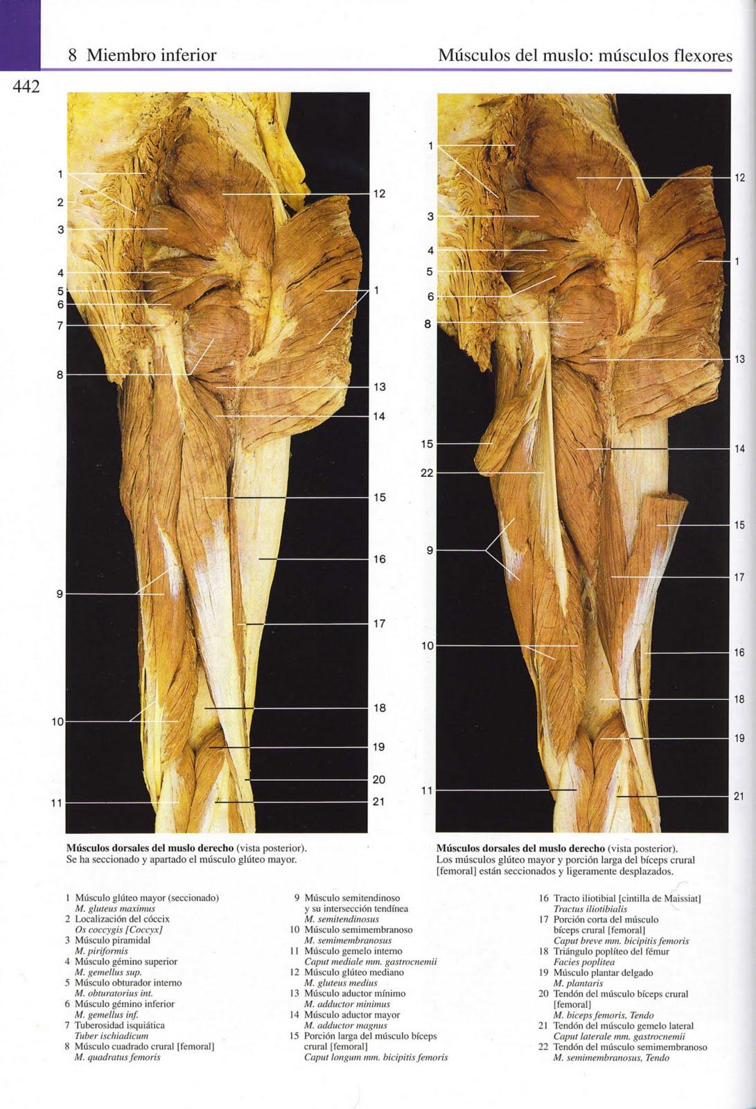 Perfecto Músculos Aductores Anatomía Embellecimiento - Imágenes de ...
