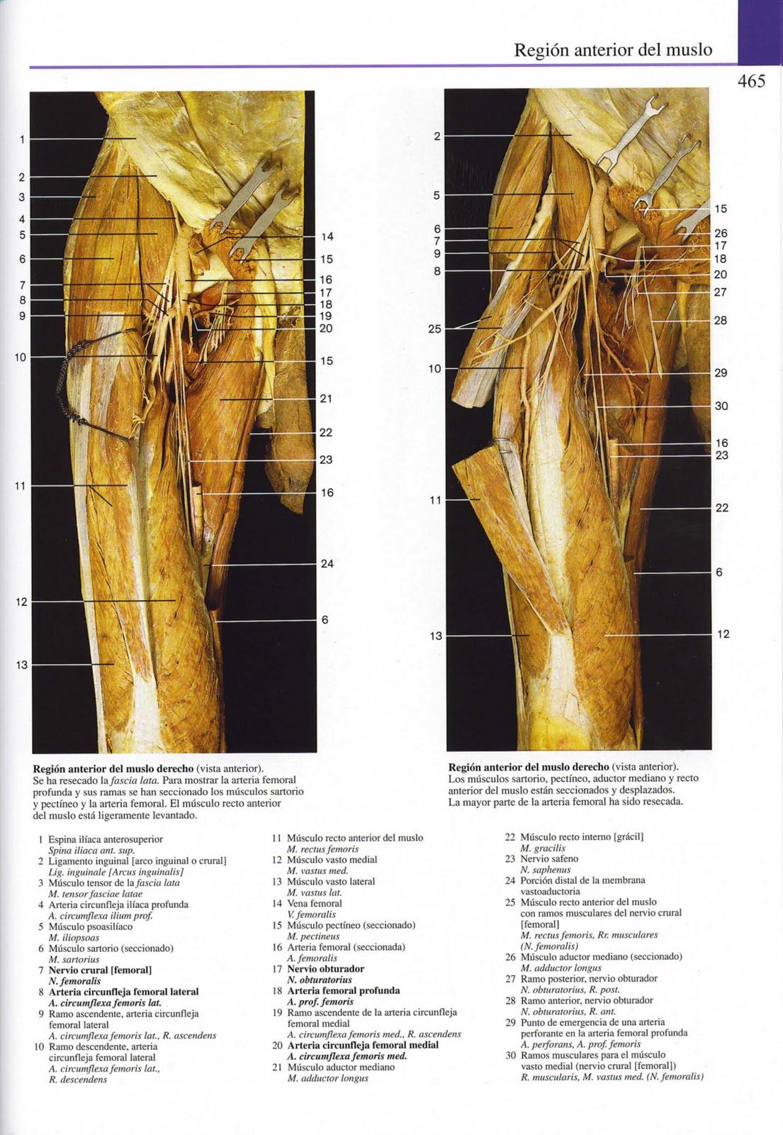 Fantástico Los Músculos De La Anatomía Del Muslo Embellecimiento ...
