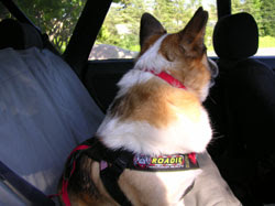 Roadie seatbelt on winecountrydog