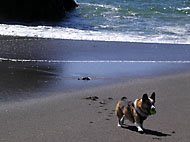 Tilin corgi at Bodega Bay