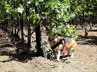 Tilin corgi sniffing vineyard terroir
