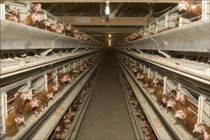 Factory-farm chickens in battery cages