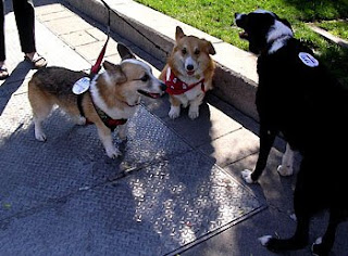 Tilin Corgi, Jack Corgi, and friend at PET Out the Vote in Petaluma, California