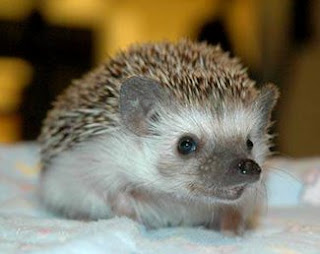 sweet, smart little hedgehog