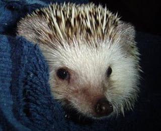nice hedgehog