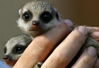 Taronga's Meerkat precious pups!