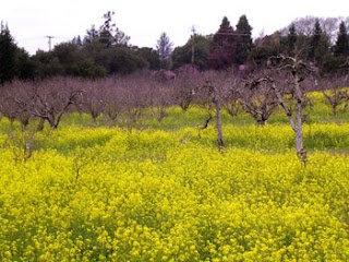 old apple orchard with mustard blooming in the rows