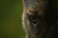 German Shepherd Eye Close-Up