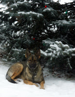 German Shepherd Lying in Snow
