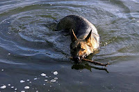 European German Shepherd Retrieving in Water
