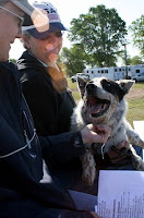 Hogan the Blue Heeler at a Horse Show