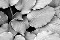 Black & White Hosta Leaves