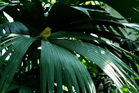Yellow Bird on Fronds at Como Conservatory