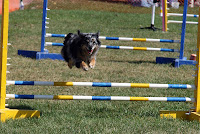 Mini Aussie Jumps in Agility Competition