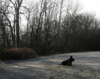 German Shepherd Lying in Grass on Frosty Morning