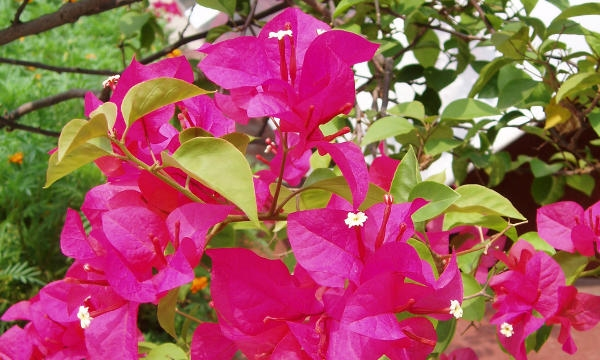 hidup ini indah quot khasiat manfaat bunga bugenvil quot