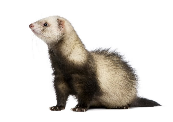 Animal Free Wallpapers: Animal Ferret Free Wallpapers