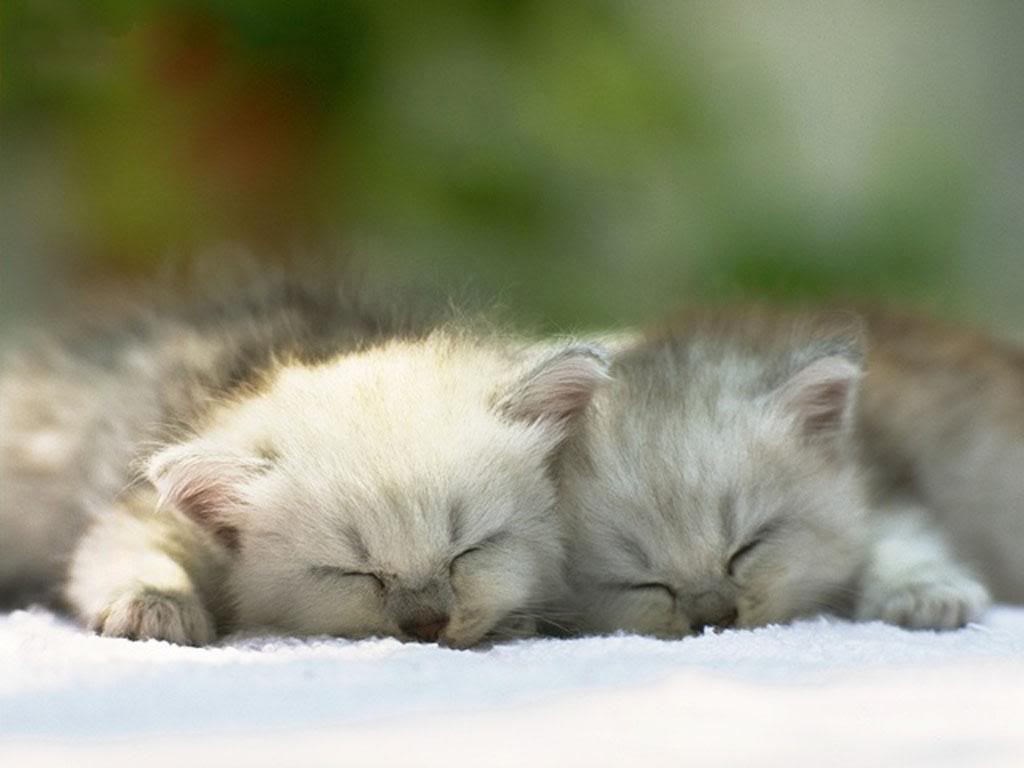 kitten wallpapers